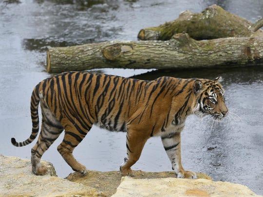Britain Tiger Killed