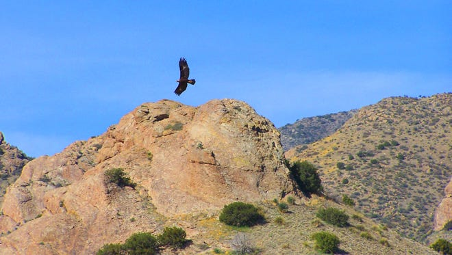 With an impressive wingspan, a golden eagle flies high above the Florida Mountains near Deming.