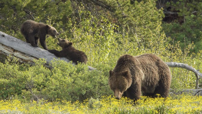 Grizzly 399 and her three cubs explore the new growth during the summer months at Grand Teton National Park.