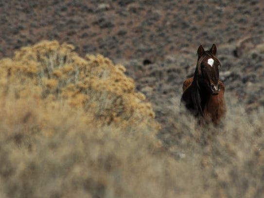 A wild horse is seen during a Bureau of Land Management