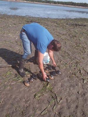 Dave Brewster of Salem digs gaper clams at Tillamook Bay