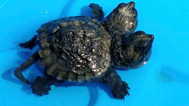 A two-headed snapping turtle rests in water in Hudson, Maine.