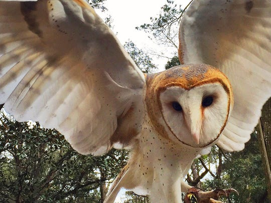 Twiggy, a barn owl, whose  velvety soft feathers are