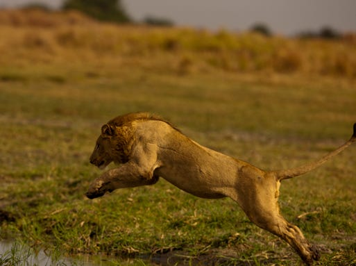 Leaping lion
