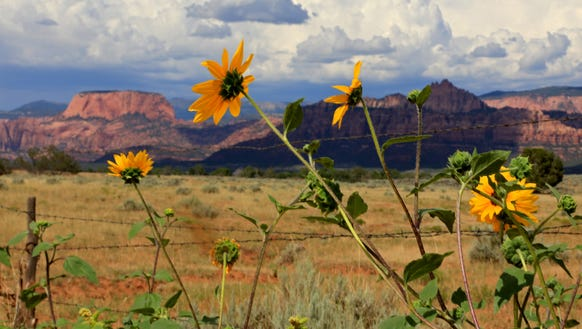 Sunflowers bloom along the Smith Mesa Road north of