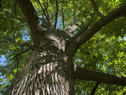 BUR 20130918 ASH TREES C4