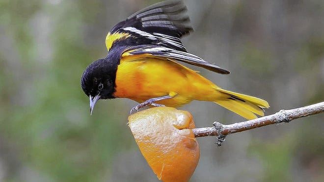 A male Baltimore oriole eats an orange, which is known to lure the birds.
