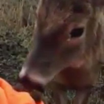 A brave buck nuzzles Dan Hartley while he is deer hunting