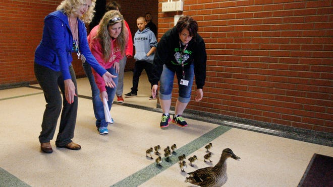 In this photo taken Thursday, April 30, 2015, herded by teachers, from left, Jo Lokken and Tracy Larsen, and special needs assistant Ali Fischer, a mother duck and her babies are escorted from their nest in the courtyard at Lewis and Clark Middle School to nearby Spring Creek Park in Billings, Mont.