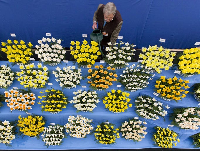 horticulturalist johnny walker waters his daffodils