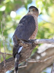 A radio-tagged adult female Cooper's hawk on the Albuquerque