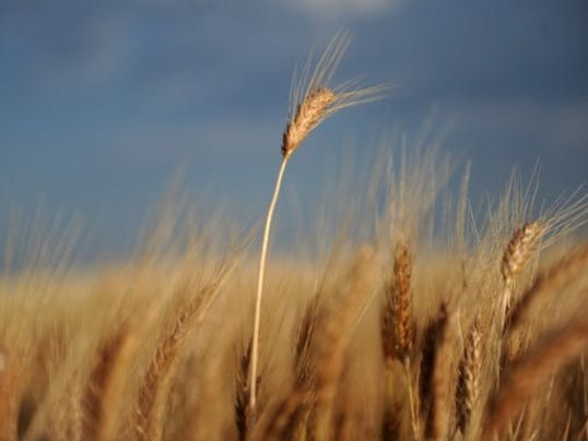 Wheat-Taylor County.jpg