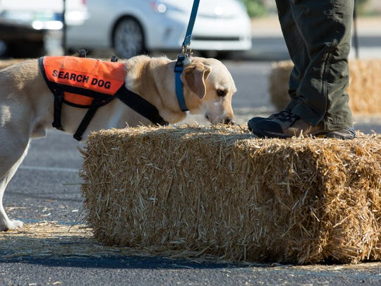 Mesilla Valley Search & Rescue dog Biscuit, 7, checks out a bail of hay that his handler Joe San Filippo is standing on during Dog Days on Saturday, September 24, 2016, hosed by Horse N Hound.