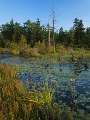 ©DWIGHT_HISCANO_CEDAR_SWAMP_PINE_BARRENS.jpg