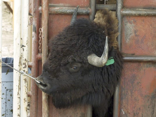 Bison Roundup Photo Gallery