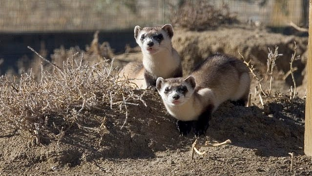 A pair of black-footed ferrets at the National Black-footed Ferret Conservation Center in Colorado.