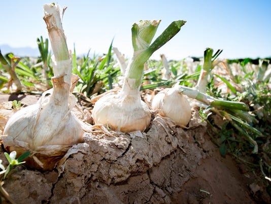 Onion harvest photo