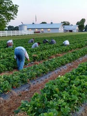 Green Acres Berry Farm has 21 pickers for its 10 acres.