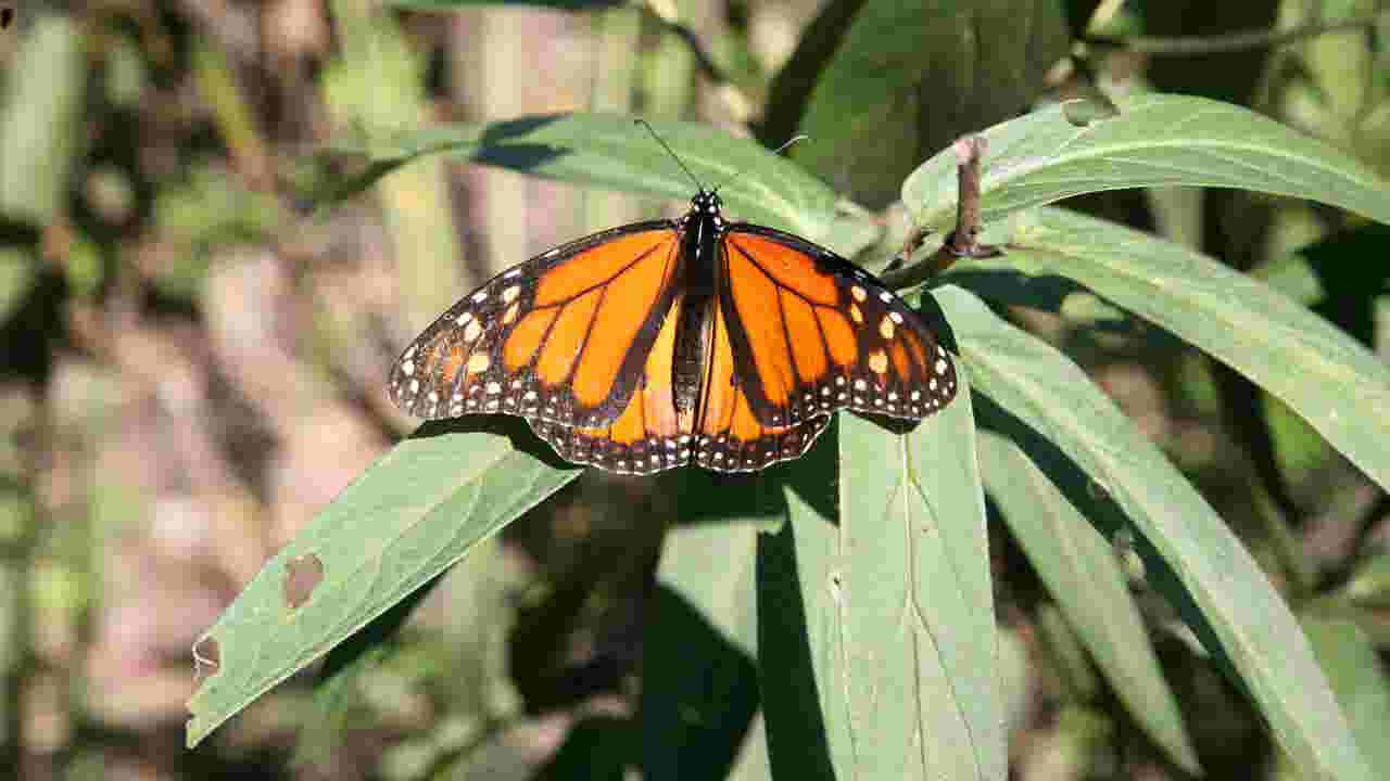 Video: Monarchs bounce back