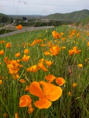 California poppies bloom at Lake Kaweah in February 2010.