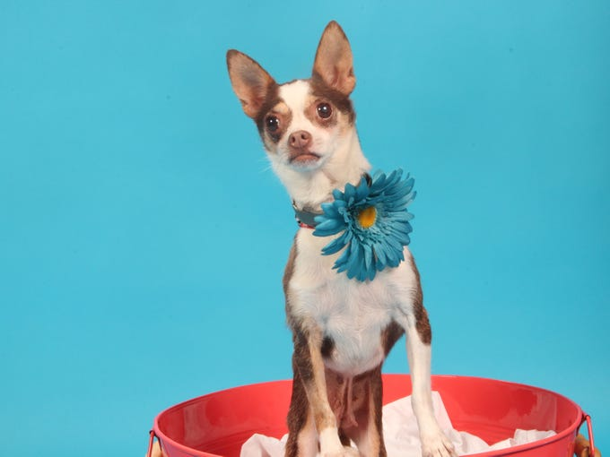 June 29 - Starry is a shy little chihuahua ready to