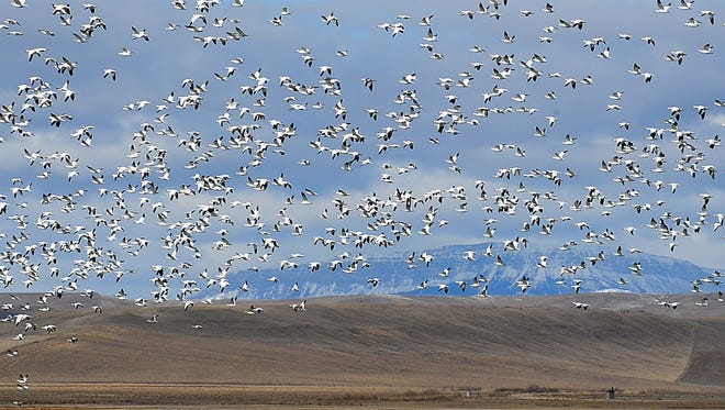 Snow geese take flight over Freezout Lake on their annual spring migration north in 2016.