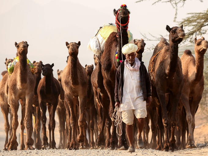 An Indian camel herder walks with his camels at the