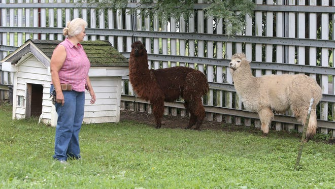 Cyndi Huntsman checks on her alpacas at Stump Hill Farm in Perry Township earlier this month. Huntsman has run the licensed facility for animals for 35 years. She runs bingo hall gaming to fund the caring for the animals.