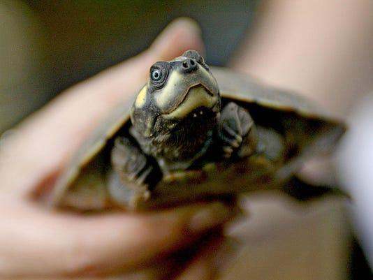 Un ejemplar de tortuga Arrau (Podocnemis