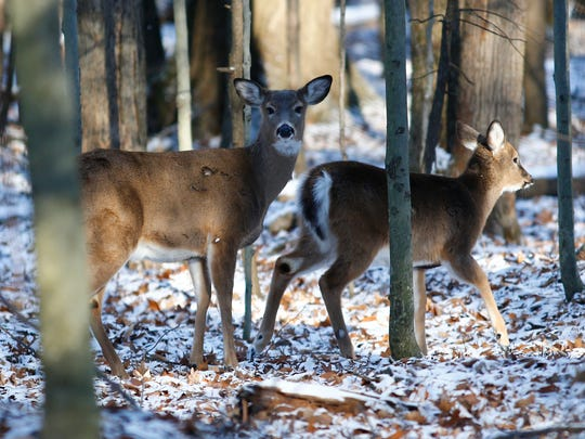 Deer inside the Binghamton University Nature Preserve on Wednesday, December 13, 2017.