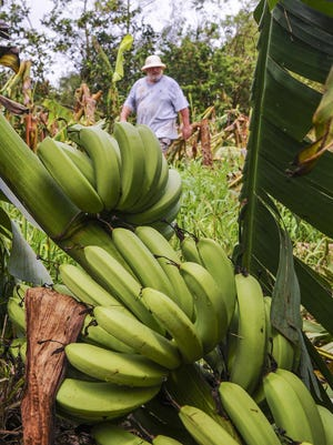 """A bunch of green bananas still attached to a fallen tree sits on the ground as farmer Bernard Watson walks among the damaged trees on May 20. Watson says about 4,000 banana trees and other agricultural producing plants on his eight-acre farm in Yigo, are a """"total loss"""" after being damaged by Typhoon Dolphin."""