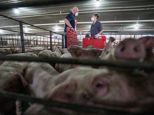 Justin Doerr and his son Wyatt Doerr organize 2,500 pigs on their farm Thursday, Feb 1, 2018, in Osmond, Neb. The Doerrs' hog business is part of a new wave of expansion in Nebraska's livestock industry. Melissa, 31, and Justin, 36, are among a growing number of Nebraska farmers looking into raising livestock at a time when low crop prices have made it harder to turn a profit through raising corn and soybeans alone.