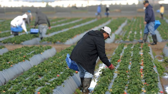 In this Star file photo, workers pick strawberries in Oxnard.