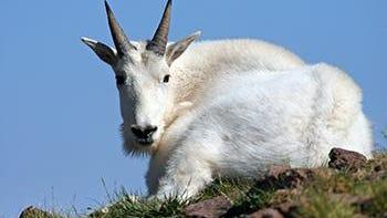 A mountain goat near the Tushar Mountain range.