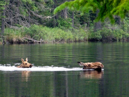 moose cow and calf.JPG