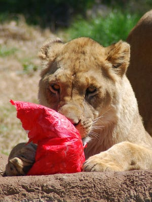 A lion checks out its Easter treat during Enrichment Eggstravaganza at Dickerson Park Zoo.