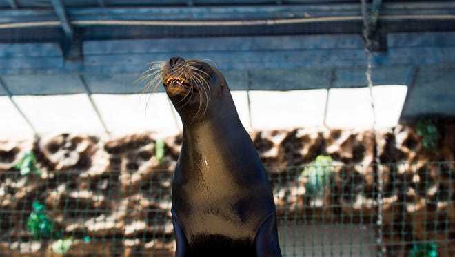 A sea lion smiles for the crowd at the Sea Lion Splash exhibit at the Wisconsin State Fair on Aug. 6, 2015. The sea lions are back at this year, with daily shows through Aug. 13.