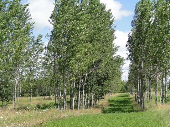 Trees and forages make a good combination, as demonstrated