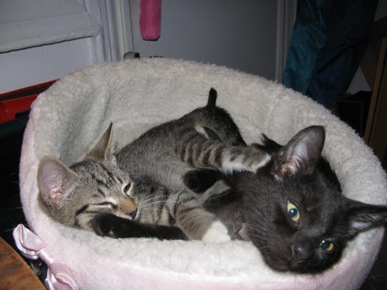 Kittens Arthur, left, and August, right, at their foster