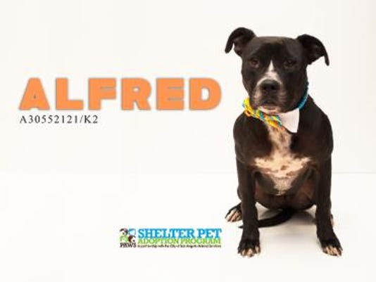 Alfred @ San Angelo Animal Shelter