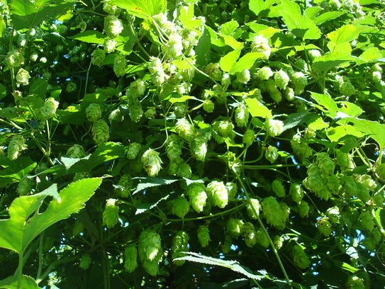 Northern Discovery hops, a green and leafy rhizome,