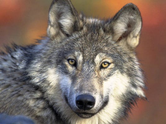635779919893327914-wolf-DFP-wolf-management.-1-1-CRA4LOG7-L574512528