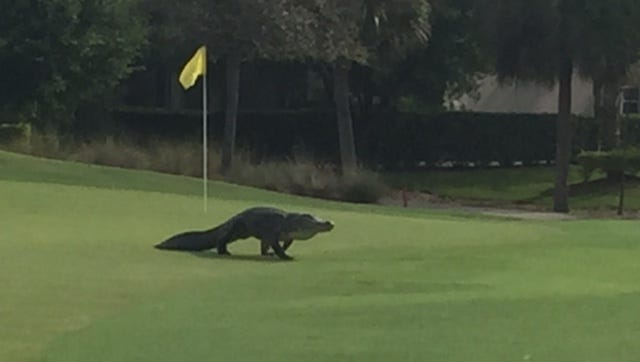 A reader photo captures an approximately 10-ft alligator, walking across the 11th green at Colonial Country Club in Fort Myers, FL. It's rare to see them out of the water in the daytime.