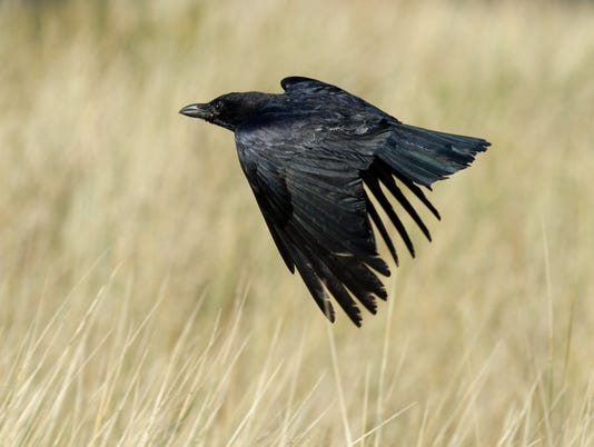636501694497381468-Common-Raven-in-Jersey.jpg