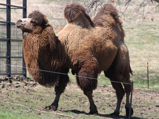 Nikolai, a Bactrian camel, died Saturday, July 2, 2016, at the Blank Park Zoo.