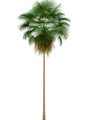 Mexican Fan palm tree is worrying one homeowner.