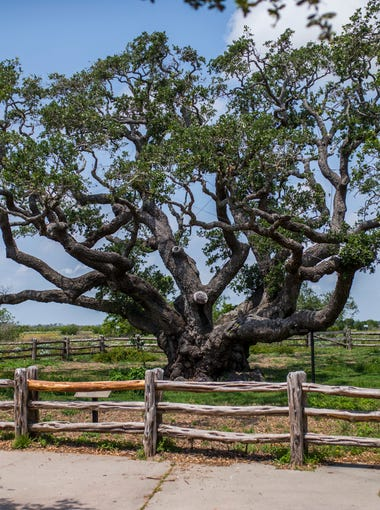 The Big Tree at Goose Island State Park on Wednesday, May 3, 2018.