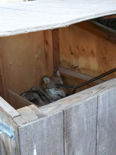 Wildlife management officials corner a female Mexican gray wolf inside a wooden box within a fenced enclosure at Sevilleta National Wildlife Refuge in New Mexico in November 2017. The wolf had crossed the U.S.-Mexico border before officials in Arizona removed her from the wild.