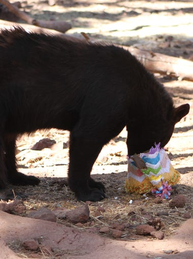 One of Bearizona's residents happily digs into a treat as the wildlife park in Williams celebrated its 8th birthday May 22. Keepers froze juice packed with fruit for many residents.