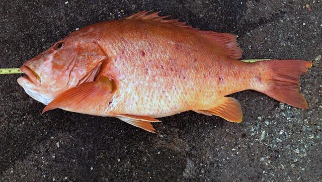 Hernandez's dog snapper measured 33.75 inches, nearly eight inches longer than the current state record fish.
